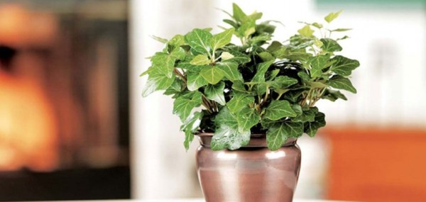 English-Ivy-Costa-Farms-Houseplant-Hero-2-e1422592660427.jpg