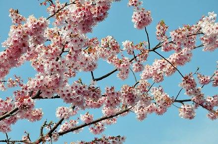 芦北の河津桜