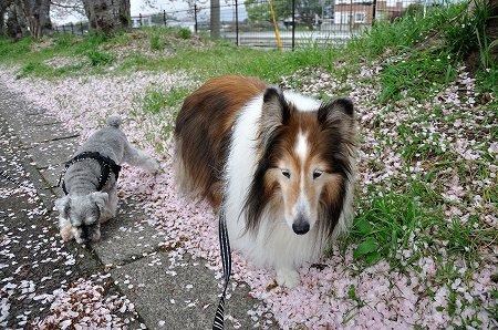 桜の絨毯3