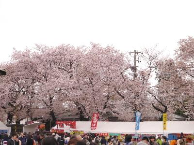 2015桜11