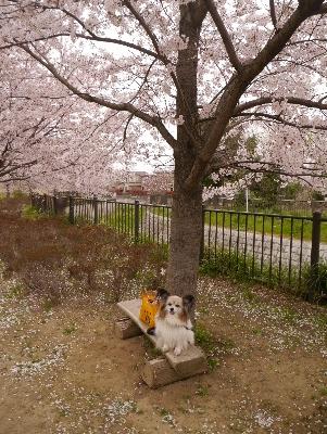 2015桜20