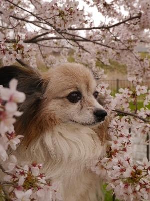 2015桜16