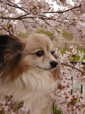 2015桜17