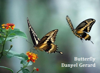 Butterfly- Danyel Gerard