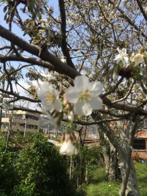 20150322桜