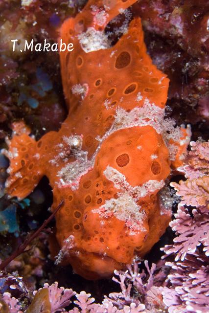 伊豆海洋公園のイロカエルアンコウ