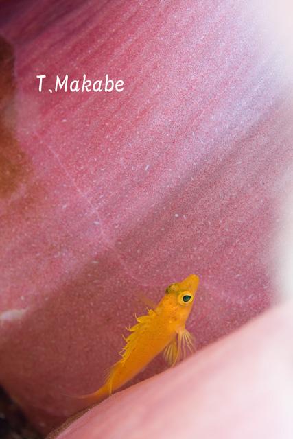 東伊豆八幡野のオキゴンベ幼魚