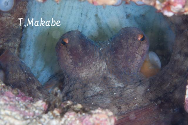 伊豆海洋公園・抱卵中のマダコ