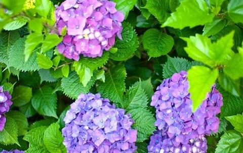150626 紫陽花