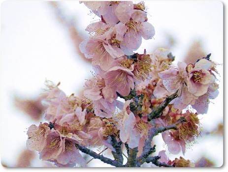 梅の花ももう終わり
