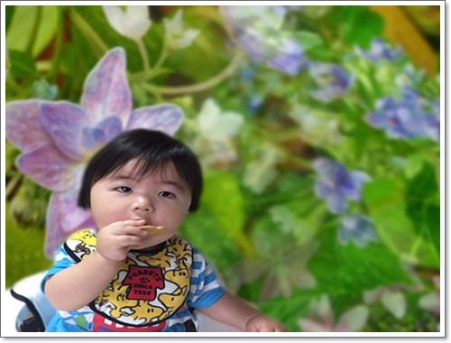 紫陽花と龍季