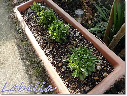 Lobelia2.jpg