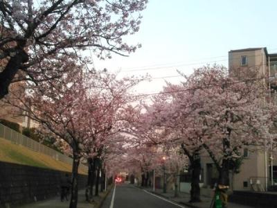 20150330桜並木