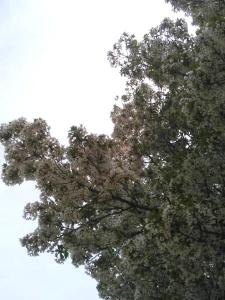 20150412山桜
