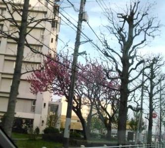 20150418八重桜