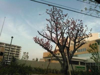 20150418八重桜2
