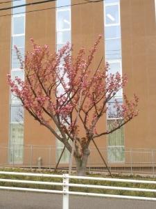 20150420八重桜