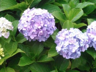 20150612ふつうの紫陽花