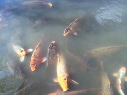写真を撮ってたら急に暴れる鯉がいて濁ってしまった