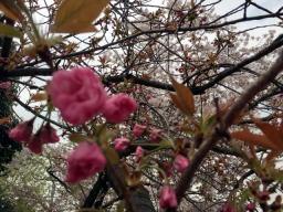 前は2本合ったはず・・・なのに1本になってしまった八重桜