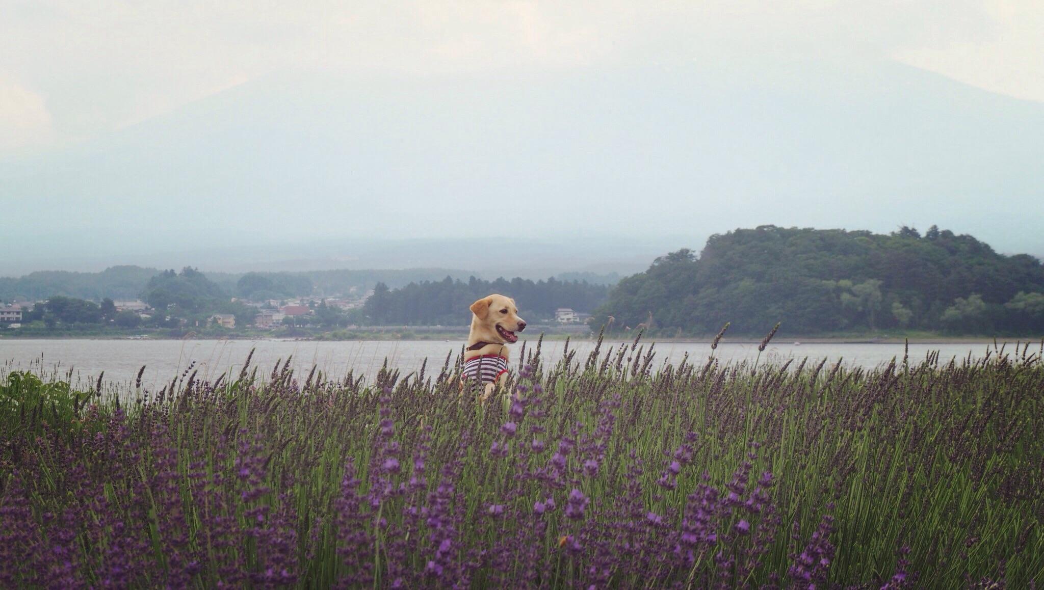 大石公園 ラベンダー 犬