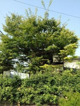 ケヤキ伸びた (230x350)