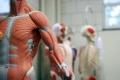 人体模型 アロマスクール マッサージスクール オーストラリア