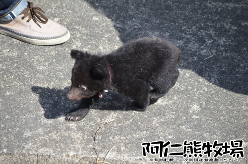 阿仁熊牧場 子熊 熊ちゃん