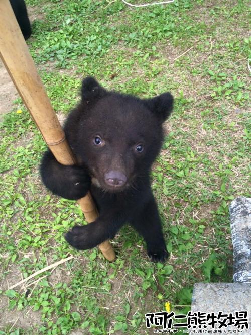 阿仁熊牧場 子熊 2015年06月