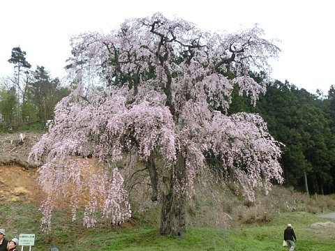 福田寺の糸桜