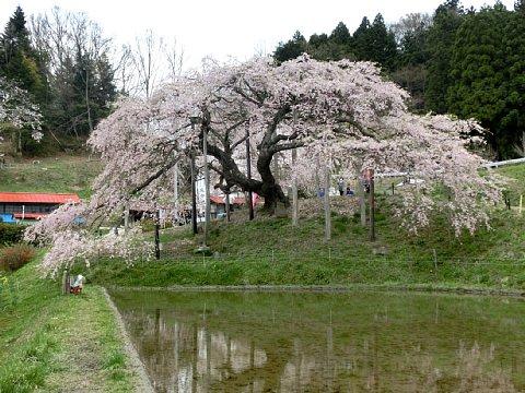 中島の地蔵桜1