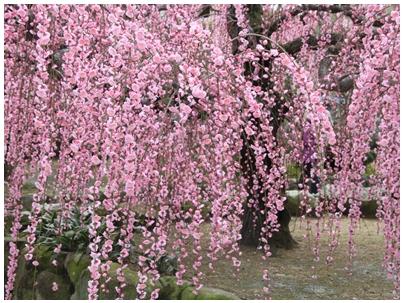 しだれ桜7