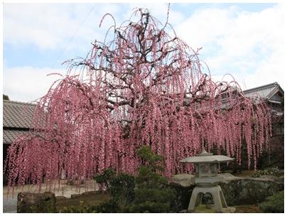 しだれ桜9