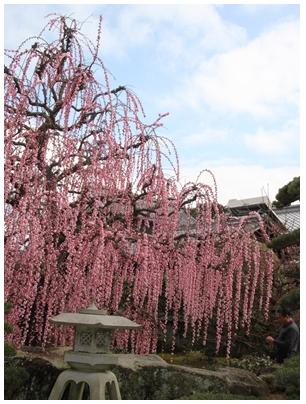 しだれ桜11