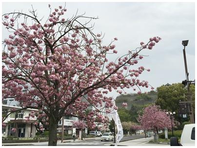丸亀城と牡丹桜2