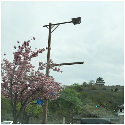 丸亀城と牡丹桜1
