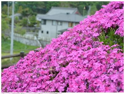 芝桜富士6