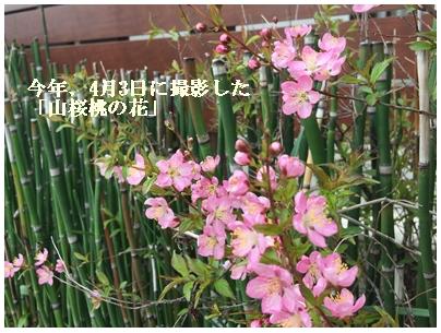 山桜桃の花