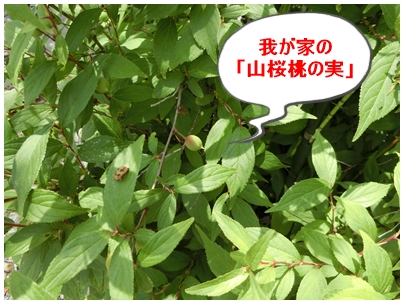 山桜桃の実