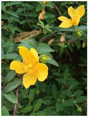 街に咲く黄色い花2