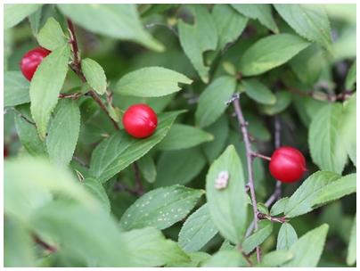山桜桃梅の実1