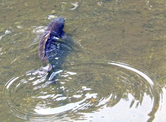 瓢池(ひさごいけ)の鯉