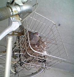鳩さん、再び!