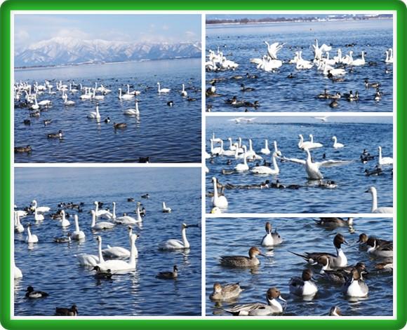 長浜の白鳥