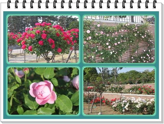 敷島公園のばら2