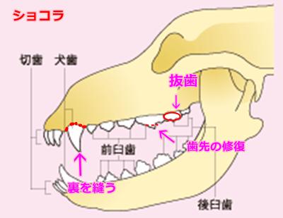img01i犬の歯12ショコラ