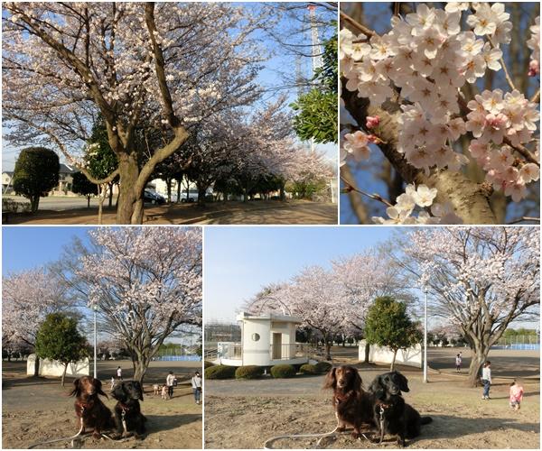 20150331omoigawasakura2.jpg