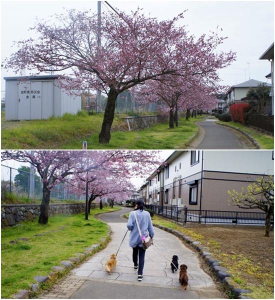 20150406思川桜1