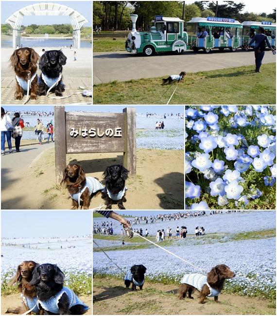 20150429海浜公園ネモフィラ1
