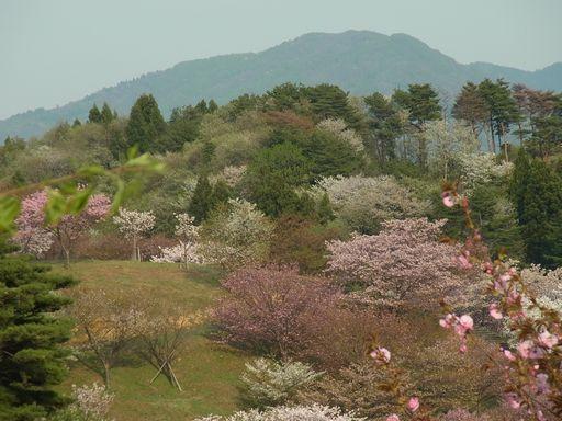 20140504日本国花苑 (17)